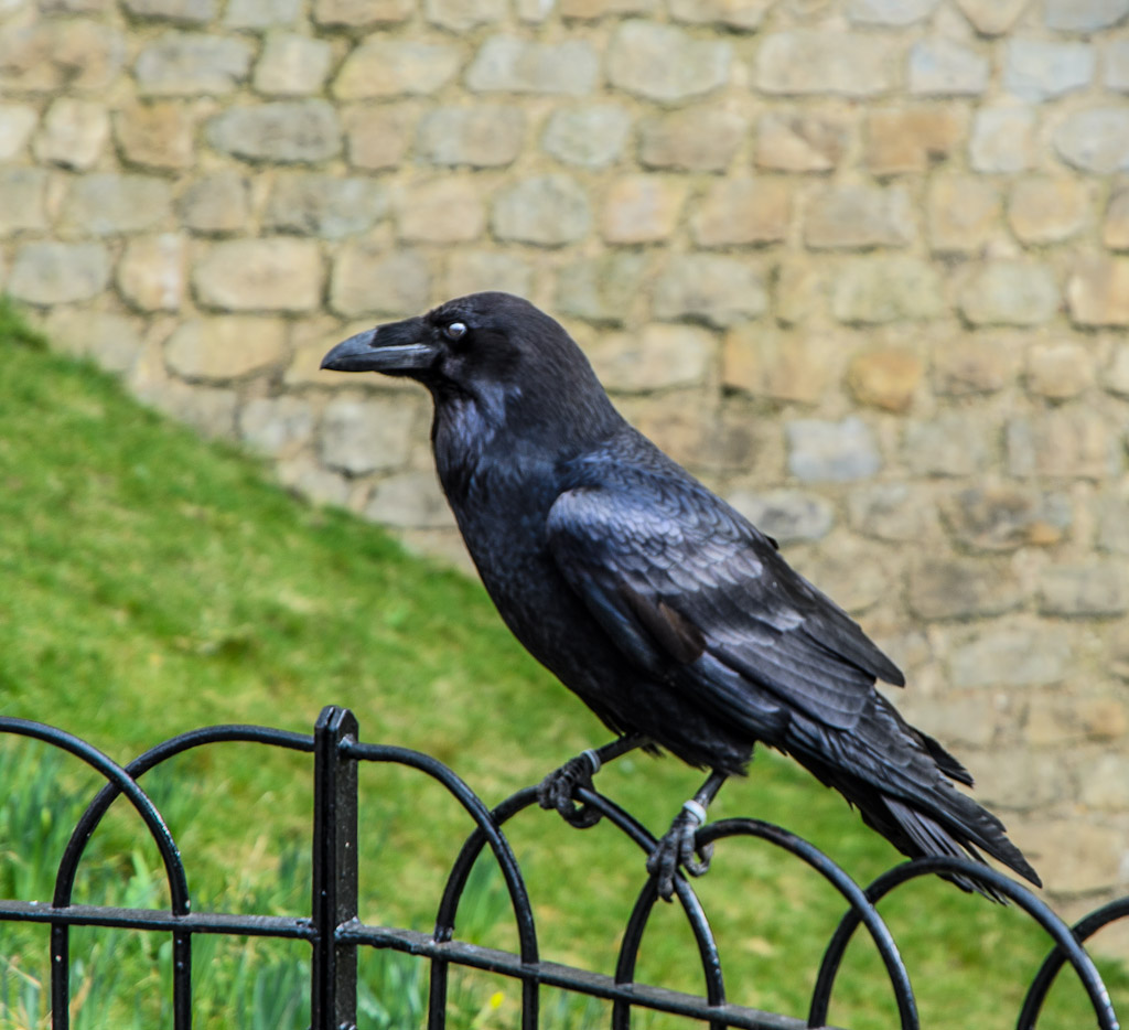 The famous ravens in the Tower of London